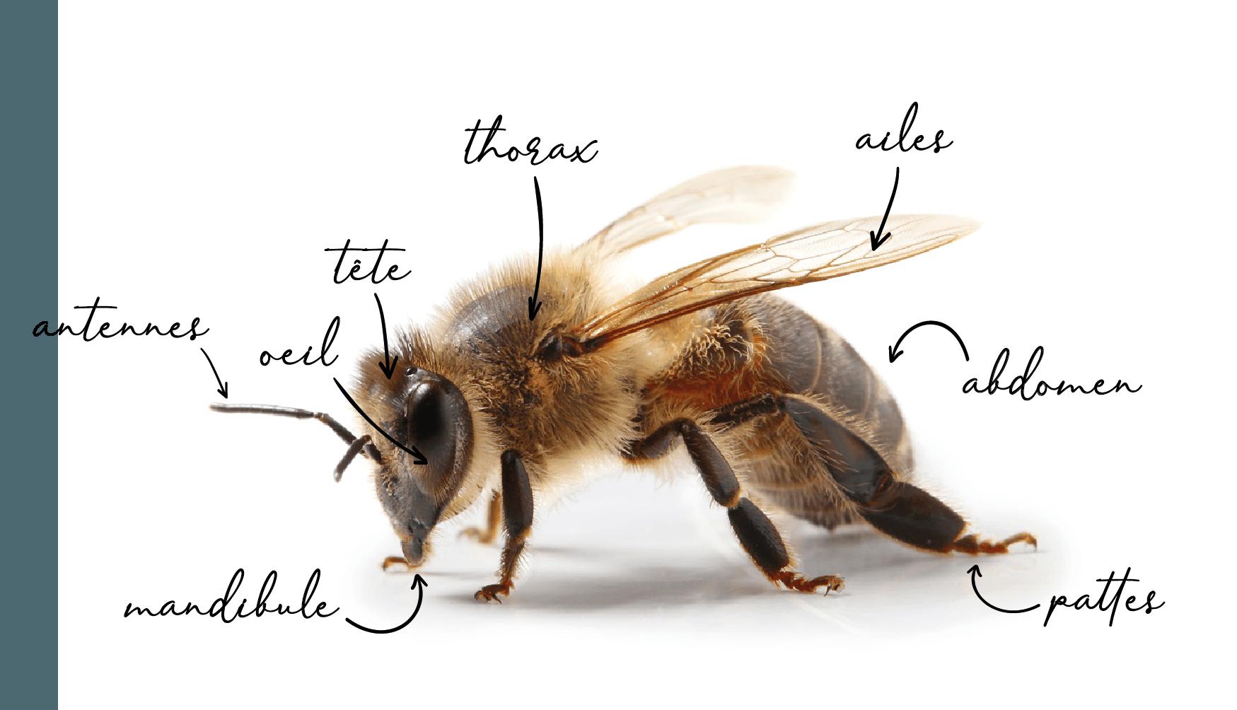 Anatomie abeille_Plan de travail 1.png